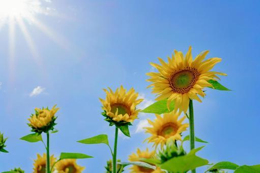 向日葵和藍天筆直地向著閃亮的太陽延伸