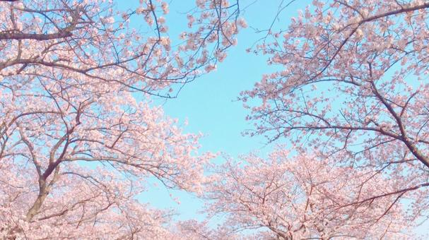 Cherry blossoms in full bloom and blue sky 16: 9 (wide)