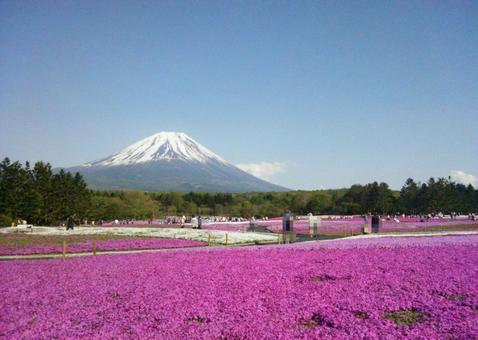 Fuji and mosaic cherry blossoms