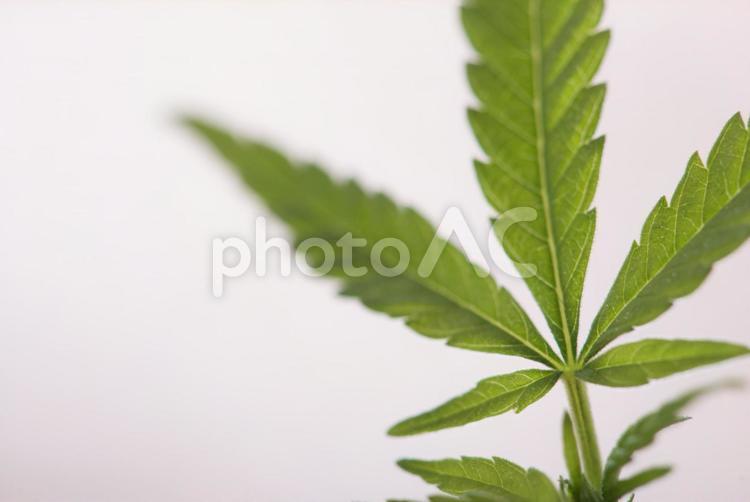 大麻の葉3の写真