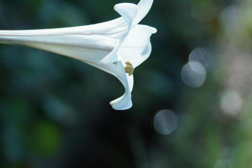 Easter lily 7