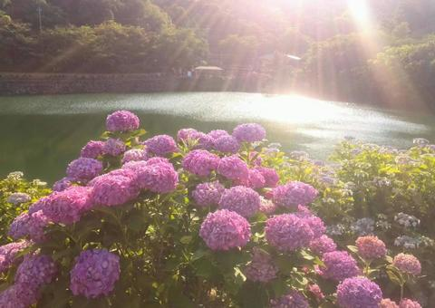 Hydrangea light and hydrangea