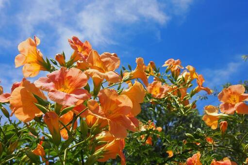 푸른 하늘과 능소화