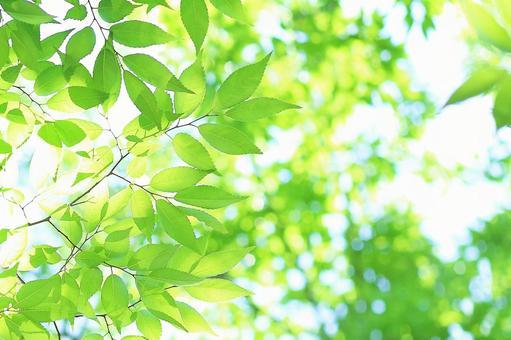 Fresh green leaves Keyaki young leaves Keyaki