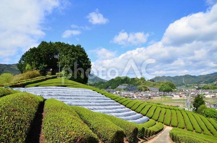和束の茶畑7の写真