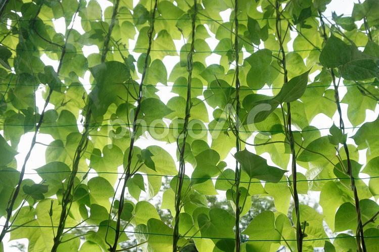 グリーンカーテンの写真