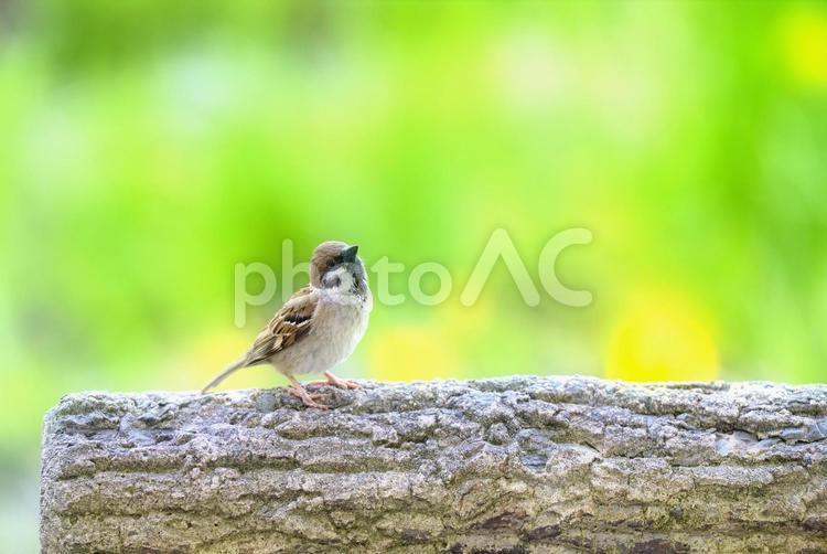 春の雀の写真
