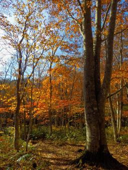 Beech autumn leaves