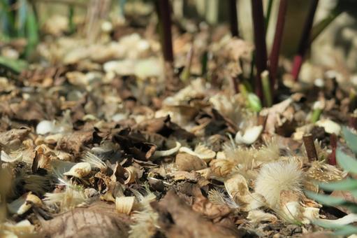 화이트 벨의 솜털과 꽃잎
