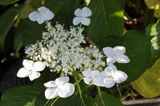 Hydrangea flower 09