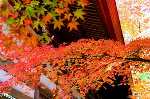 與美麗的明亮的秋葉的秋天背景楓樹
