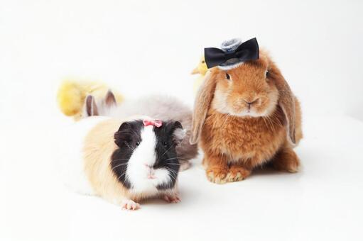 兔子和鸭子和豚鼠5
