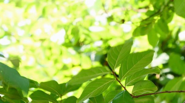 Green leaves shining through the sunlight