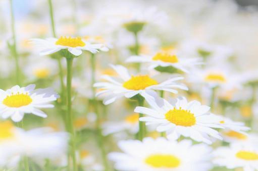 일면에 피는 희고 귀여운 마가렛 꽃 벽지 이미지 배경 텍스처