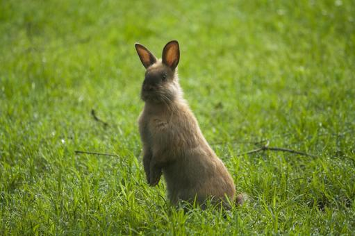 A rabbit standing in the grass