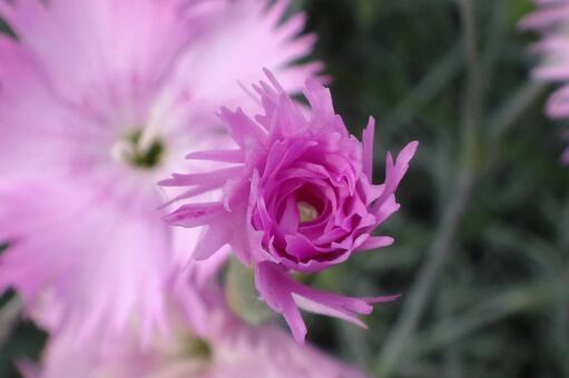 Dianthus 09 (flowering)