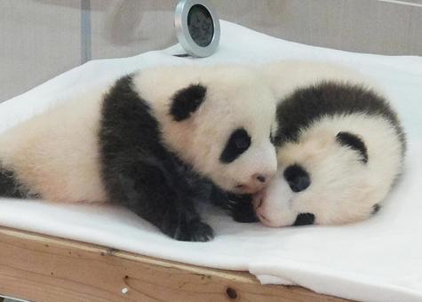 Twin panda babies