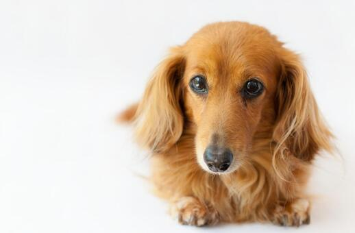 Miniature dachshund posing looking at the camera