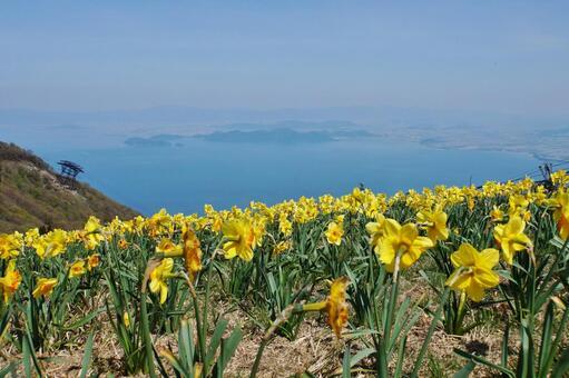 Yellow daffodil of Lake Biwa Valley