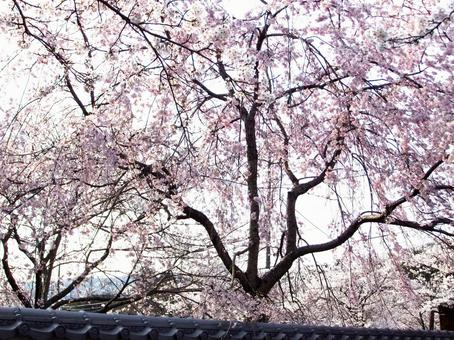 Brown cherry blossoms at Negoriji