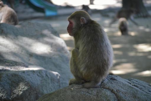 Takasakiyama Japanese monkey