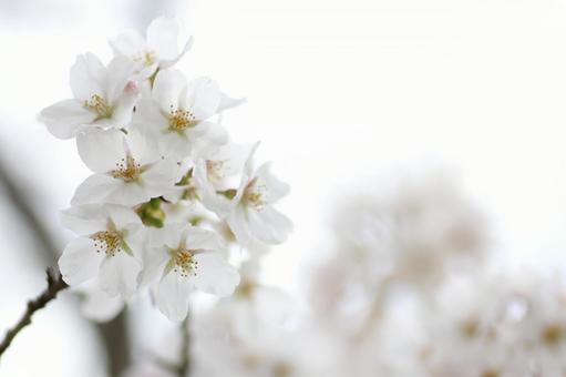 왕 벚나무 꽃 클로즈업