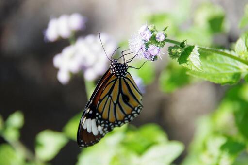 별 선두리 왕 나비 10
