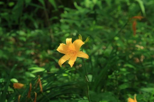무사시노 【키스 게】 꽃
