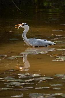 Gray heron catching a fish