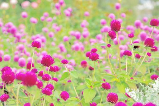 Pink flower field (Senichiko)