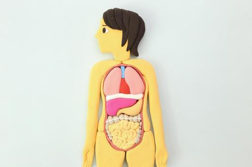 Human Body Model 8