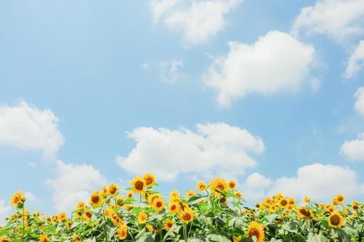 Sunflower full of blue sky ④