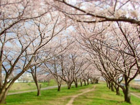 Sakura (Mukogawa 2)