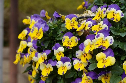Pansy flowerbed