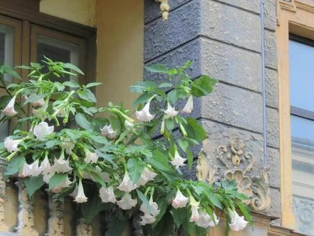 Flowering windows [Latvia] Riga