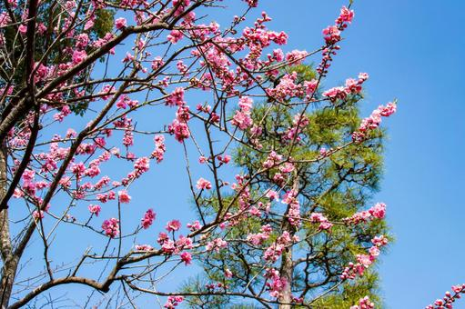 Pine trees in the blue sky and flowers of Hanamomo