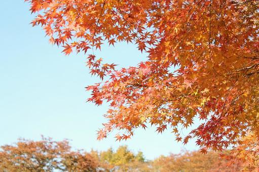 秋天的樹葉,秋天的落葉