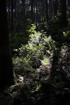 蕨類植物森林2