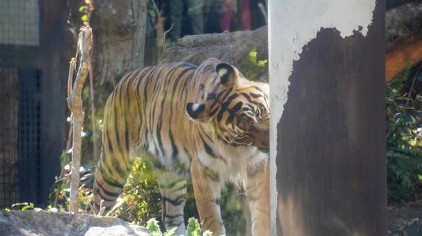 Sumatran tiger [Ueno Zoo]