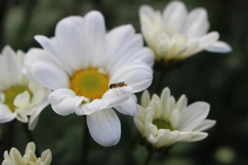 국화와 작은 꿀벌