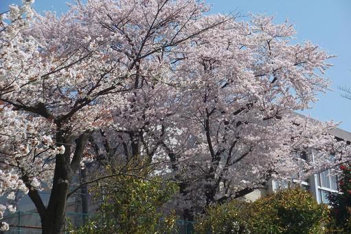 """Walking around Koganehara · Spring """"Sakura"""" # 72"""