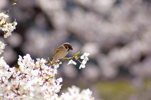 Sakura and sparrow