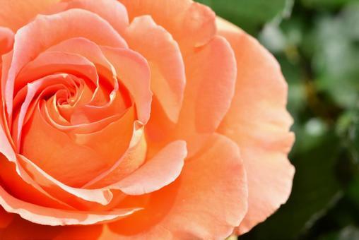 오렌지의 장미