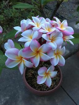 Bouquet of plumeria