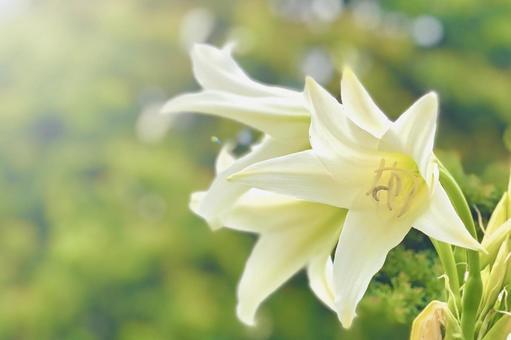 Crinum latifolium 花 Crinum latifolium 框架