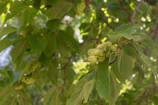코브의 열매