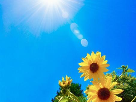 陽光、藍天和迷你向日葵
