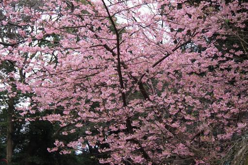큰 벚꽃 나무