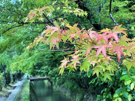 Autumn leaves that have begun to turn red