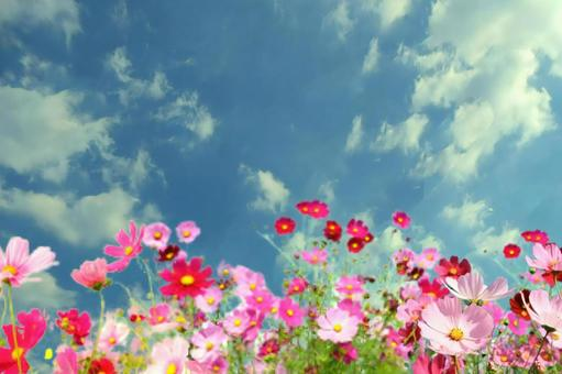 Cosmos and autumn sky background 01
